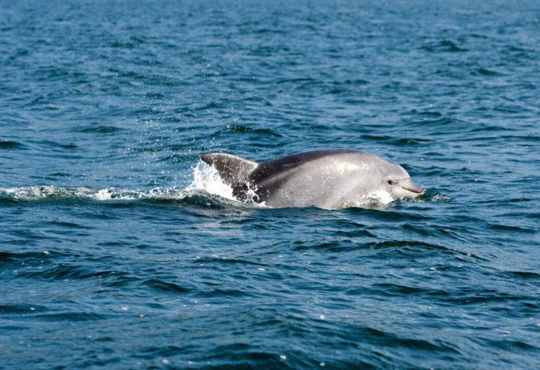 Delfín en la Ruta de mejillones por la ría de Pontevedra