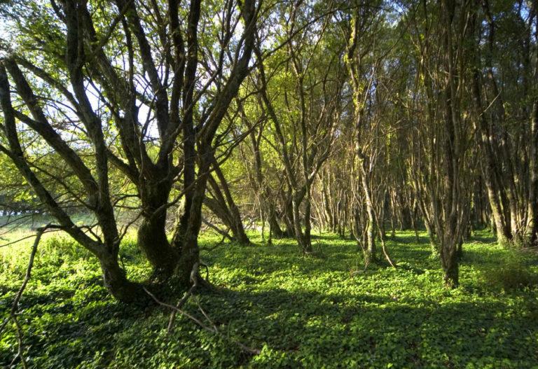 frondosos verdes en la isla de cortegada